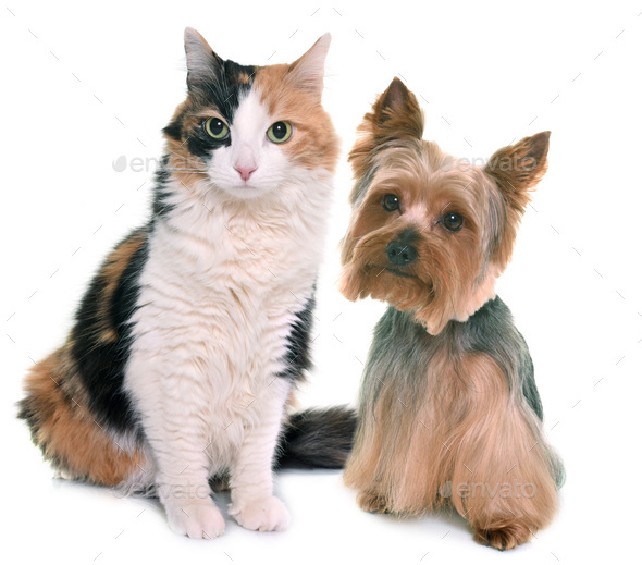 tricolor cat and yorkshire terrier - Stock Photo - Images