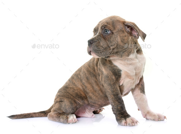 puppy american staffordshire terrier - Stock Photo - Images