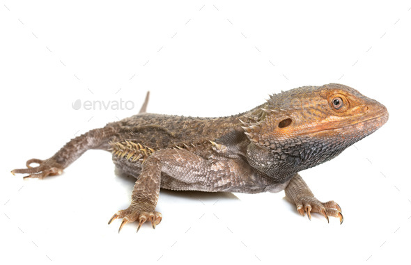 bearded dragons in studio - Stock Photo - Images