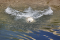Polar bear swimming on the water. Wildlife. Nature background