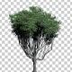Common Hook-Thron Tree