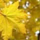 Autumn Maple Leaf on the Tree - VideoHive Item for Sale