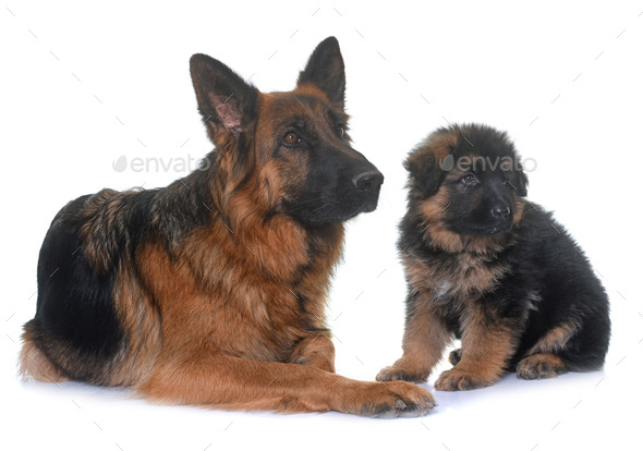 puppy and adult german shepherd - Stock Photo - Images