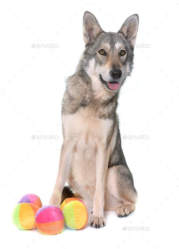 Saarloos wolfdog in studio - Stock Photo - Images
