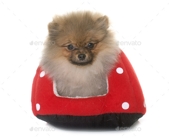 puppy pomeranian dog - Stock Photo - Images