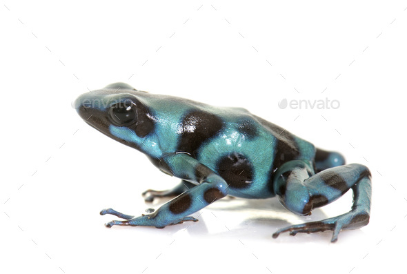 Dendrobates auratus celeste - Stock Photo - Images