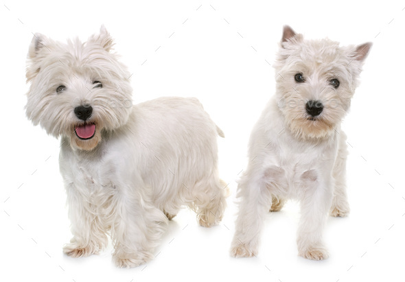 two west highland white terrier - Stock Photo - Images