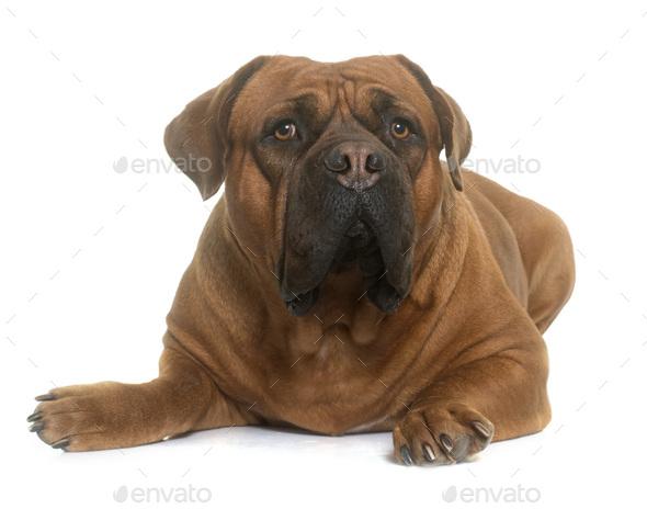 dogue de Bordeaux - Stock Photo - Images