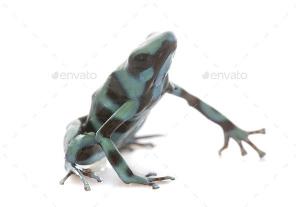 Dendrobates auratus celeste - Stock Photo - Images