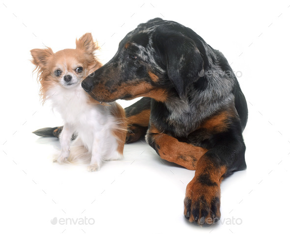young beauceron and chihuahua - Stock Photo - Images