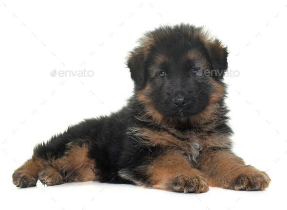 puppy german shepherd - Stock Photo - Images