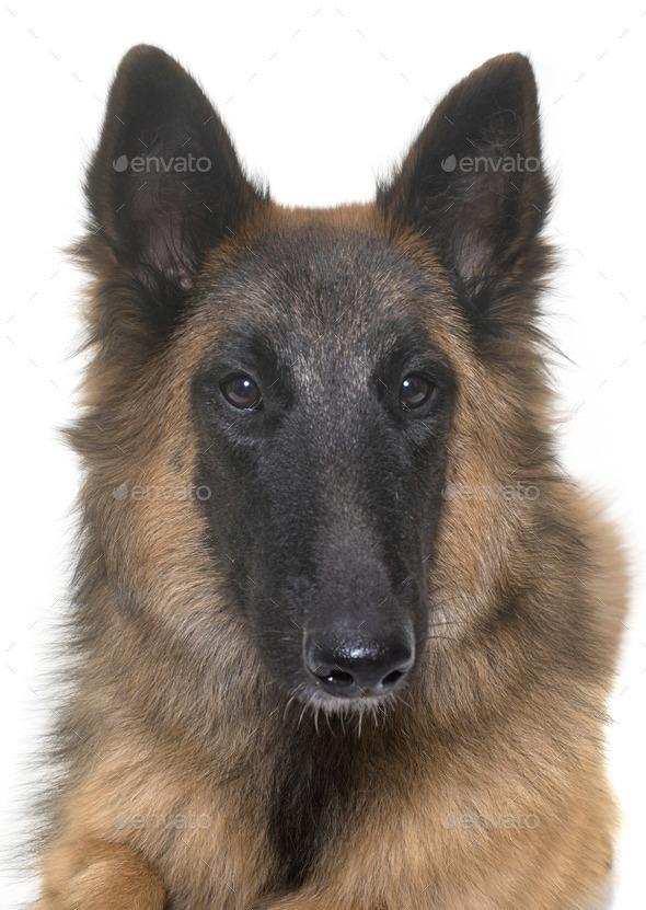belgian shepherd tervuren - Stock Photo - Images