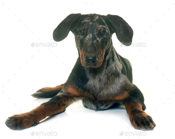 young beauceron in studio - Stock Photo - Images