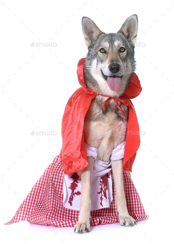 dressed Saarloos wolfdog in studio - Stock Photo - Images
