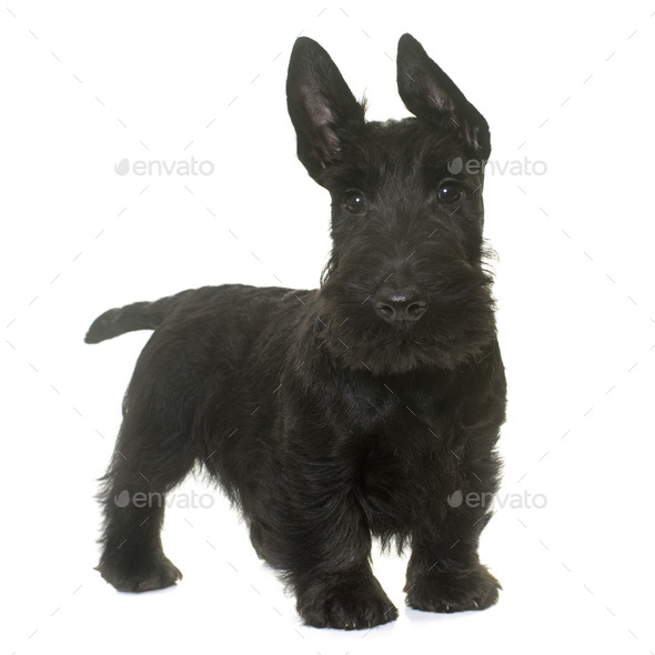 puppy scottish terrier - Stock Photo - Images