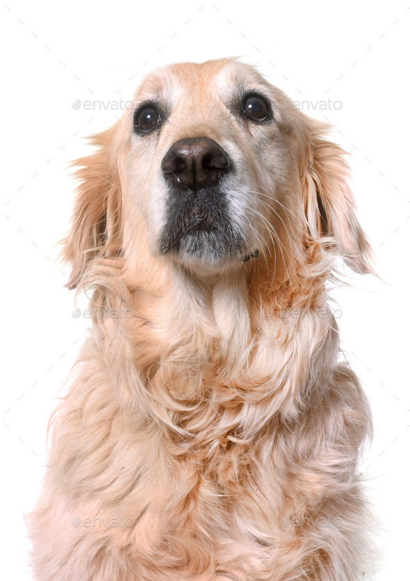 old golden retriever - Stock Photo - Images