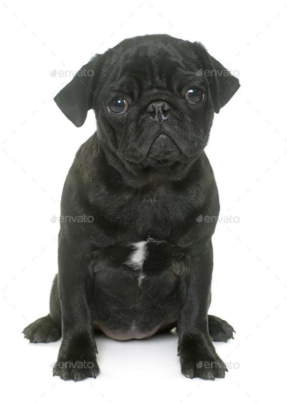 puppy black pug - Stock Photo - Images