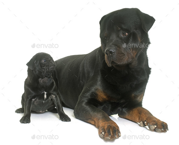 puppy black pug and rottweiler - Stock Photo - Images
