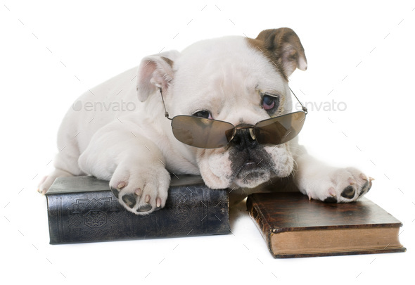 puppy english bulldog reading - Stock Photo - Images