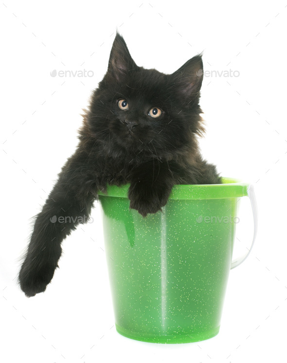 maine coon kitten - Stock Photo - Images