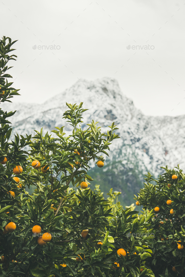 Orange trees with oranges in mountain garden, Dim Cay, Alanya - Stock Photo - Images