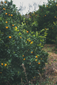 Orange trees with wild ripe oranges in mountain garden, Alanya