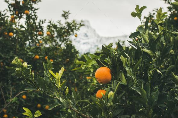 Orange trees with ripe oranges in the mountain garden, Turkey - Stock Photo - Images