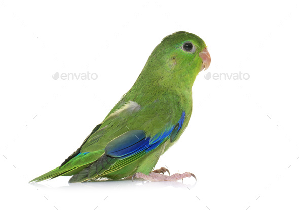 Pacific parrotlet in studio - Stock Photo - Images