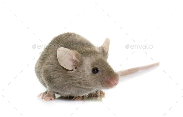 gray mouse in studio - Stock Photo - Images