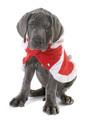 dressed puppy great dane