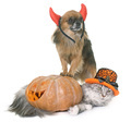 halloween pumpkin, maine coon cat and chihuahua