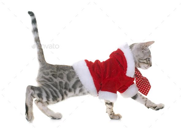 dressed bengal kitten - Stock Photo - Images