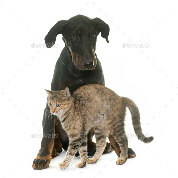 young beauceron dog and kitten - Stock Photo - Images