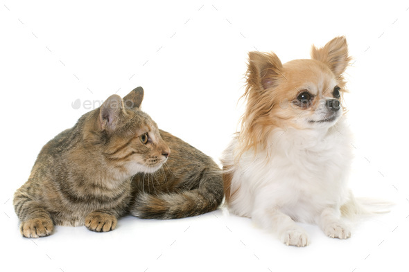 tabby kitten and chihuahua - Stock Photo - Images