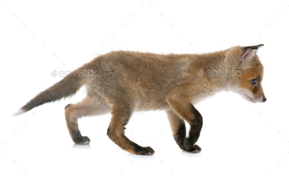 fox cub in studio - Stock Photo - Images