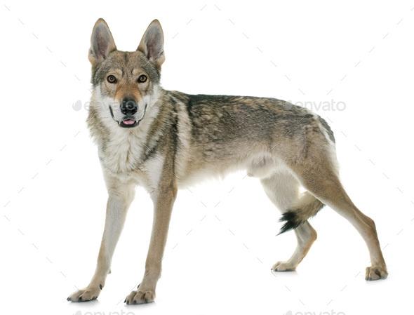 czechoslovakian wolf dog - Stock Photo - Images