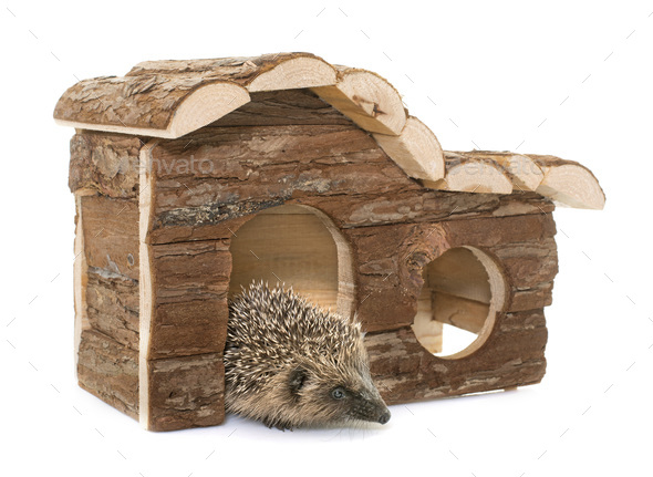 baby hedgehog and house - Stock Photo - Images