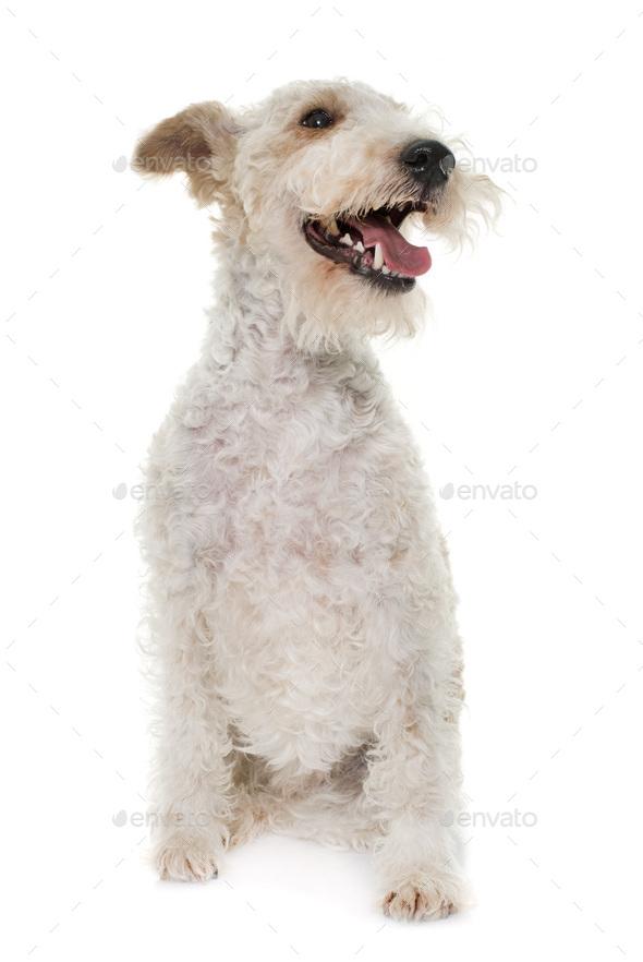 female fox terrier - Stock Photo - Images