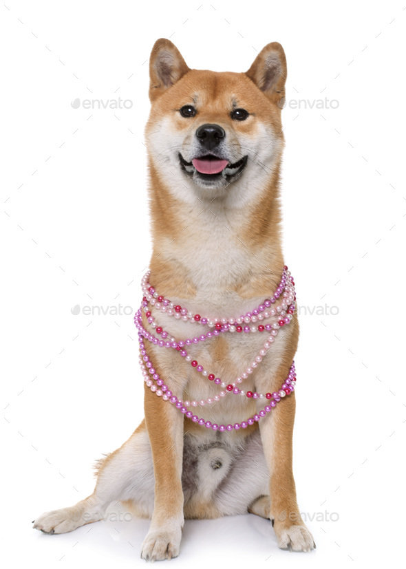 young shiba inu - Stock Photo - Images