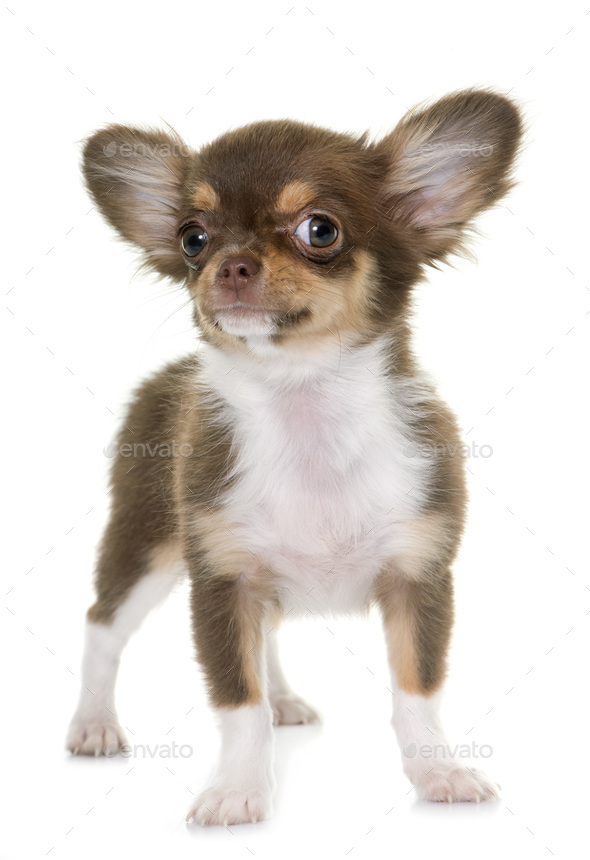 puppy brown chihuahua - Stock Photo - Images