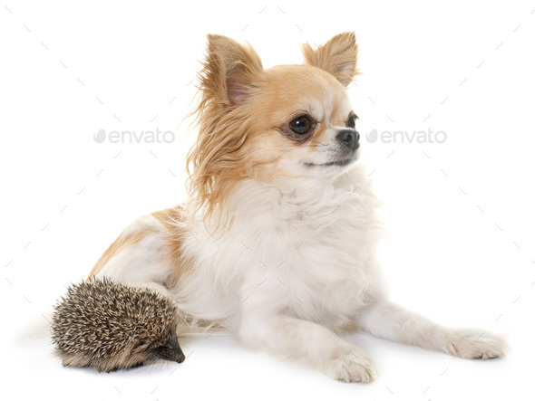 baby hedgehog and chihuahua - Stock Photo - Images