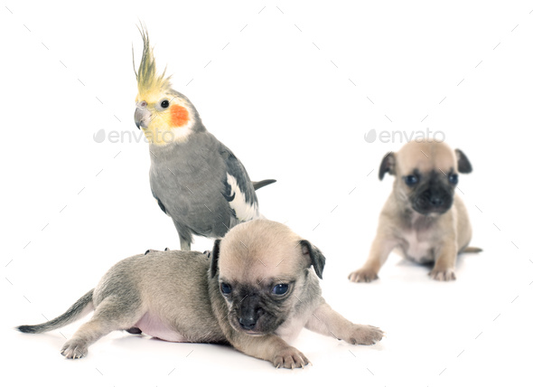 young puppies chihuahua and cockatiel - Stock Photo - Images