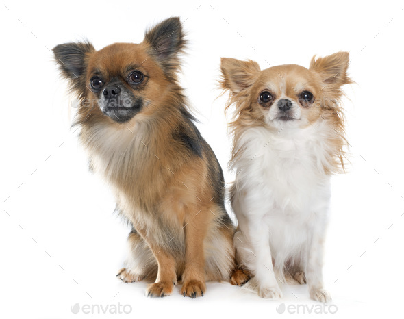 two long hair chihuahuas - Stock Photo - Images