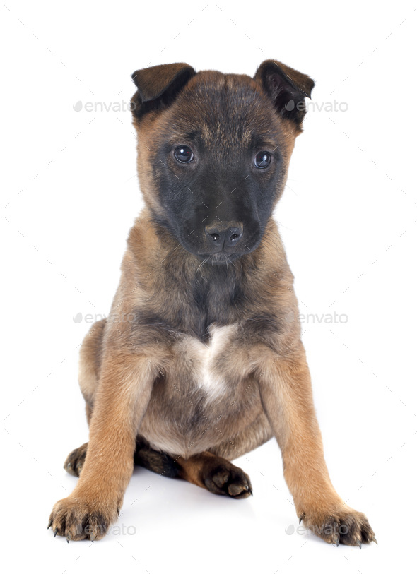 puppy malinois - Stock Photo - Images