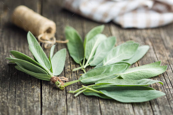 Salvia officinalis. Sage leaves. - Stock Photo - Images