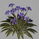 African Lilly Purple Flowers