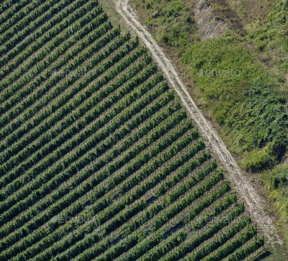 Landscape in Romagna at summer: vineyards - Stock Photo - Images