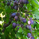 Plums on a tree - PhotoDune Item for Sale