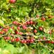 Red gooseberries in garden - PhotoDune Item for Sale