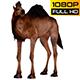 Camel 5